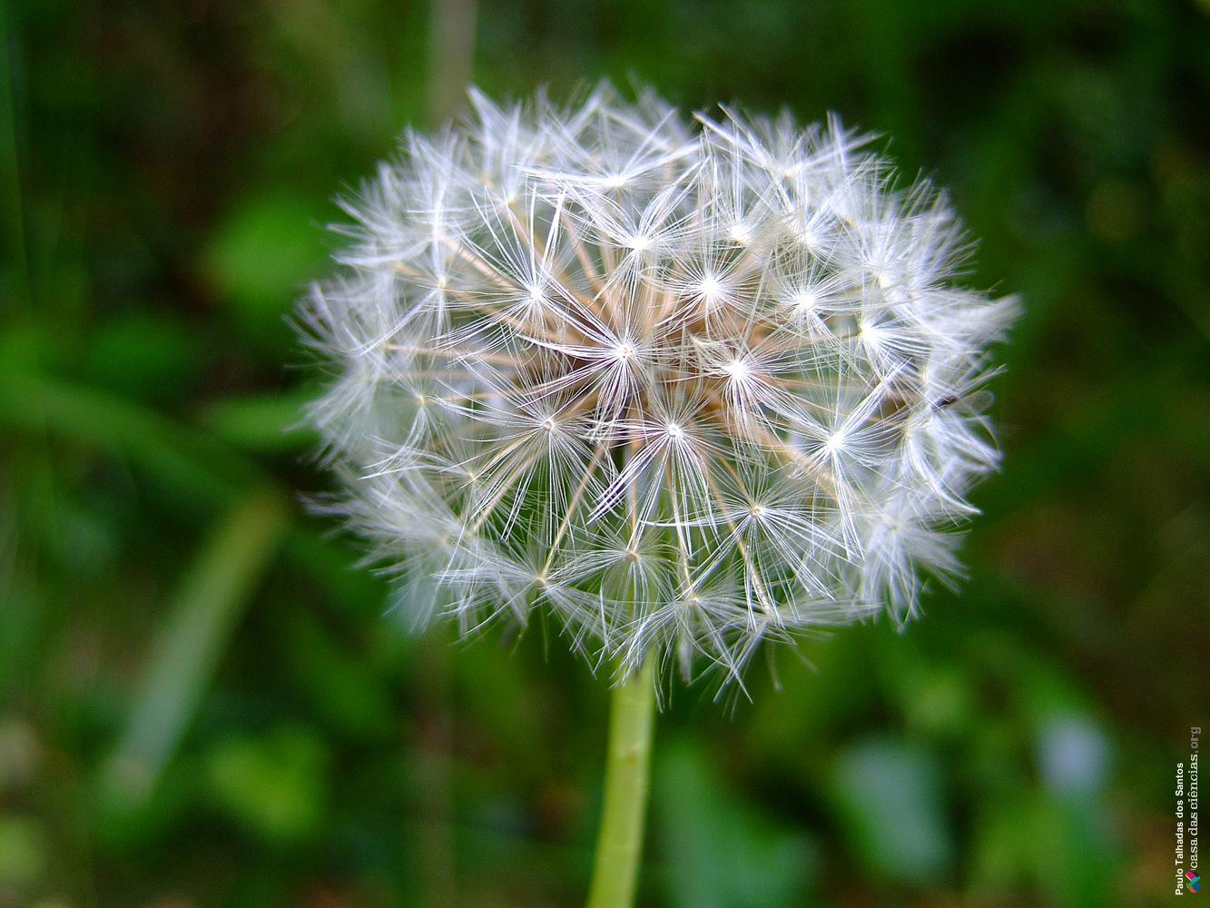 Infrutescência de Asteraceae, podendo observarem-se os papilhos de várias  cipselas. Dente-de-leão - Banco de Imagens da Casa das Ciências